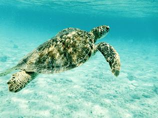 Tobago Cays tortue de mer